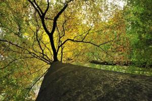 Buchenkrone im Herbst Foto: Landesforsten RLP | Richard Hansen
