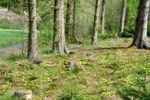 Waldumbau auf der Äppelswies zum naturnahen und stabilen Mischwald durch Vorausverjüngung mit Buche Foto: Burkhard Schäck